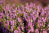 Heather plant closeup detail of blossom on Haworth Moor in Haworth, England, United Kingdom