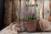Heather potted isolated on the wooden rustic background, toned