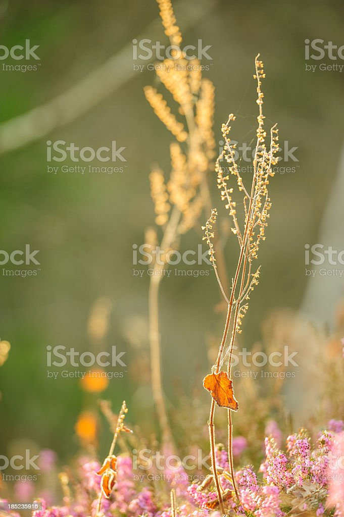 Heathers in Bloom royalty-free stock photo