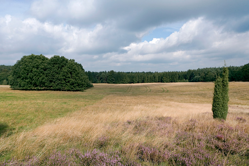 Heathland in Lueneburger Heide, Lower Saxony