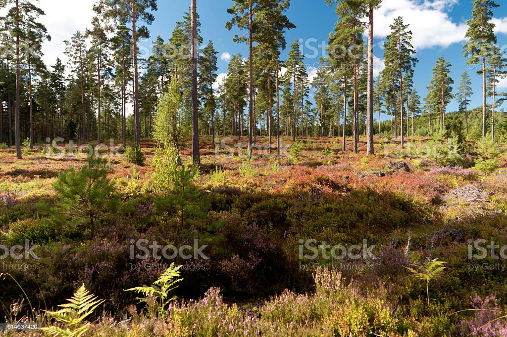 Heathland in Sweden stock photo