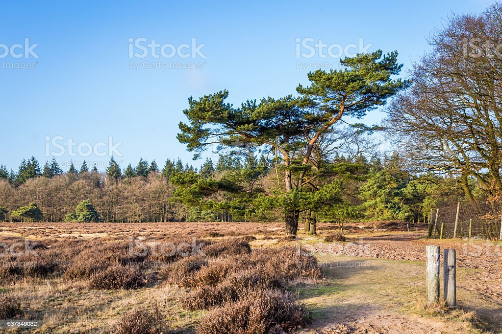 Heathland NP Hoge Veluwe  Holland stock photo