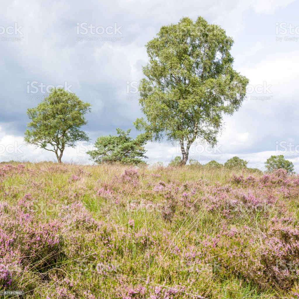Heathland with birch trees. stock photo