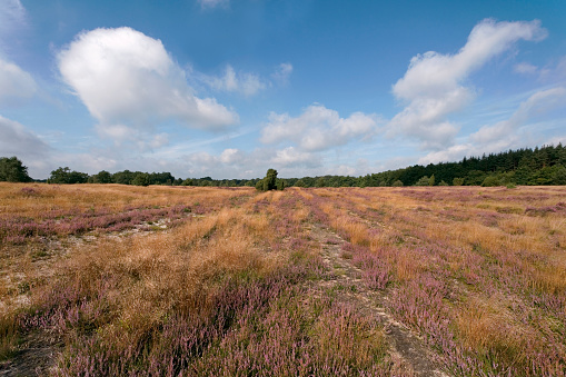 Heathland with blue sky in Lower saxony (XL)