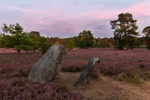 Heathland with flowering common heather (Calluna vulgaris) in the Lueneburg Heath in Lower Saxony, Germany