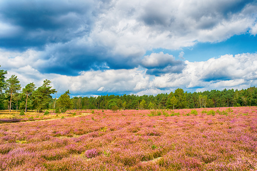 Heathland with flowering common heather, natural background