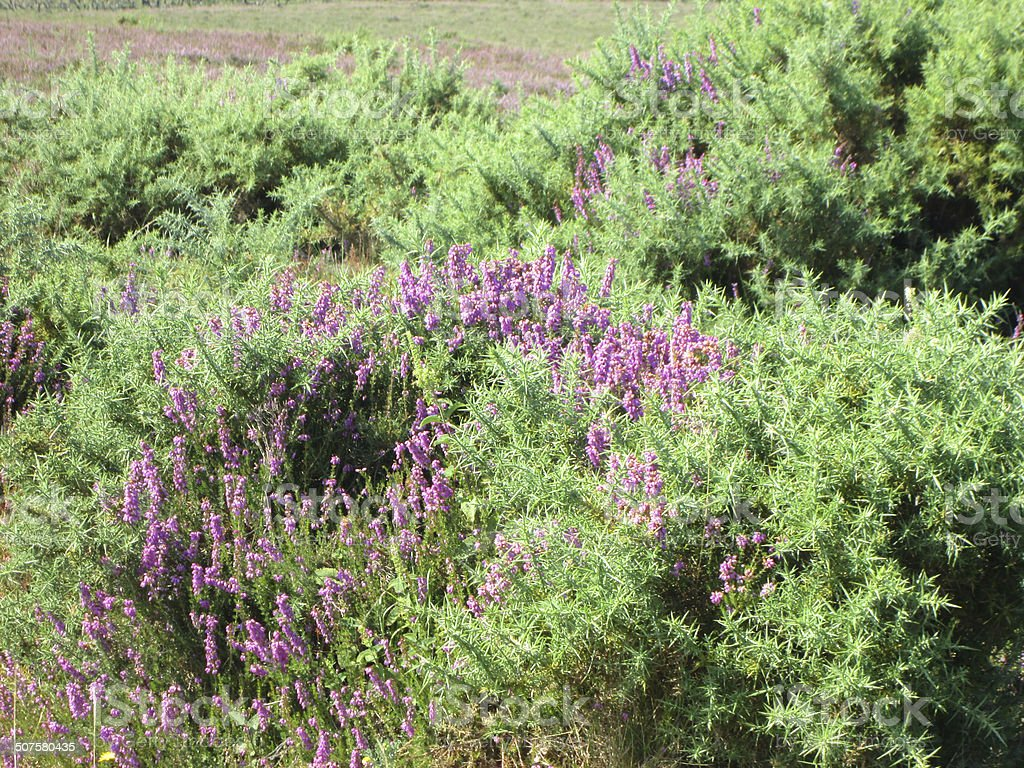 Heathland With Flowering Heathers And Gorse Bushes Newforest