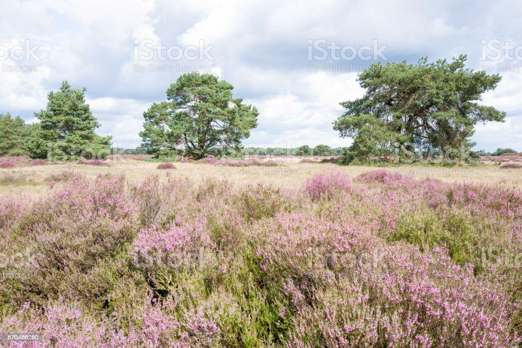 Heathland with pine trees. stock photo