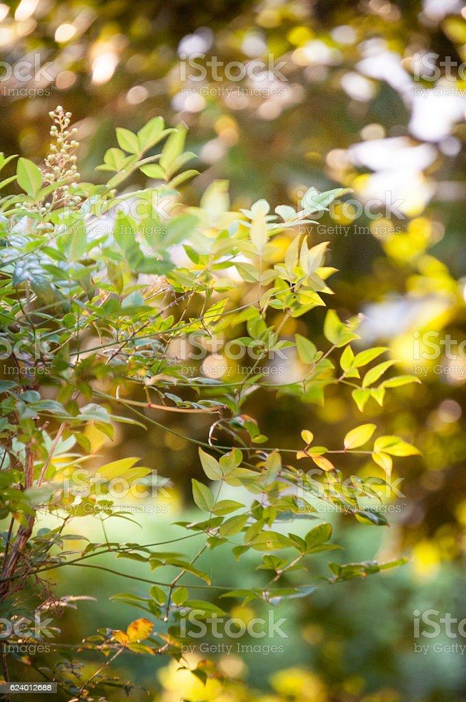 Heavenly Bamboo stock photo