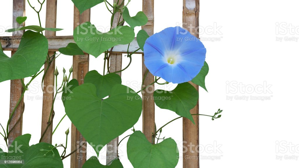 Heavenly blue morning glory flower with heart shaped green leaves heavenly blue morning glory flower ipomoea tricolor with heart shaped green leaves and vines mightylinksfo