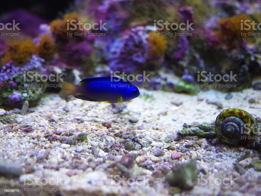Heavenly damselfish and conch stock photo