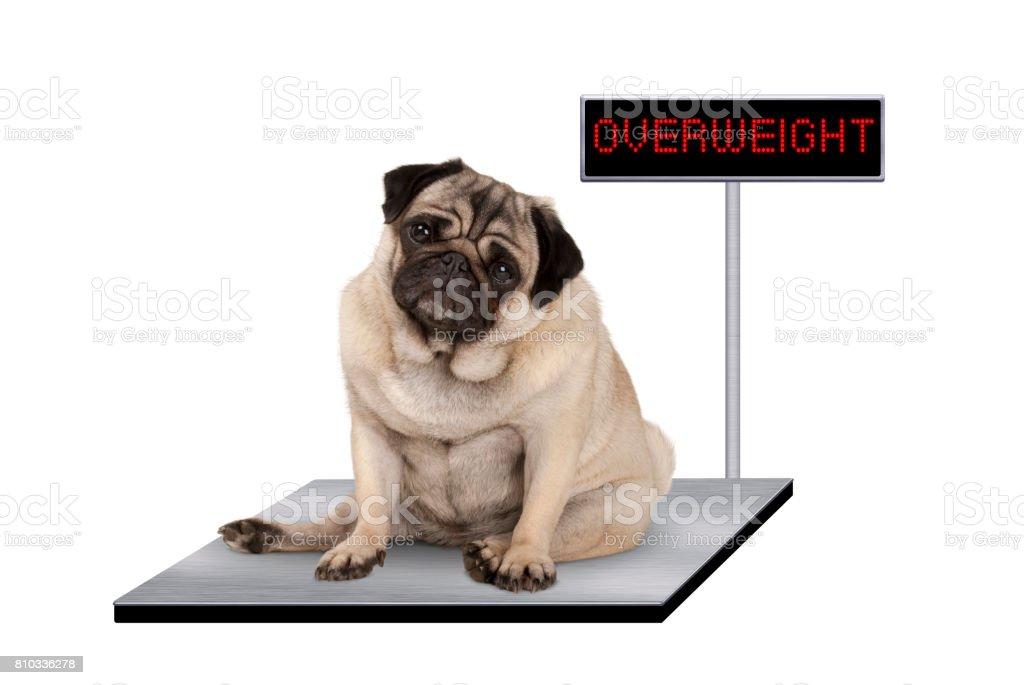 zware vet pug puppy hondje zitten op dierenarts schaal met overgewicht LED bord foto
