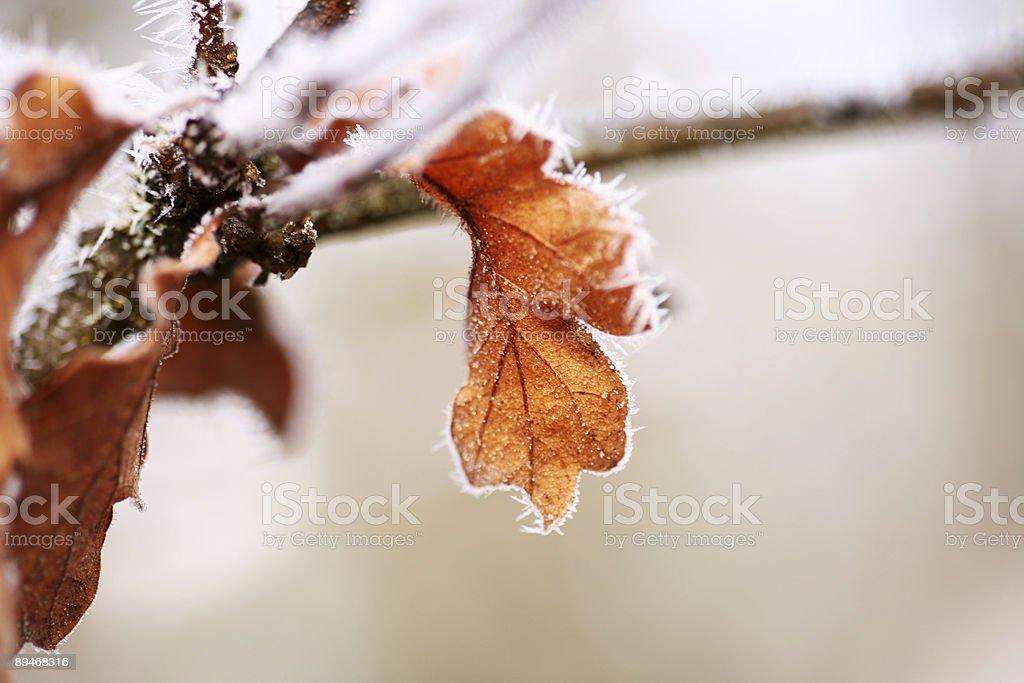 Schwere Frost auf Eiche Blätter Lizenzfreies stock-foto