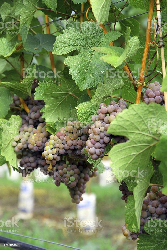 Heavy Grapes royalty-free stock photo