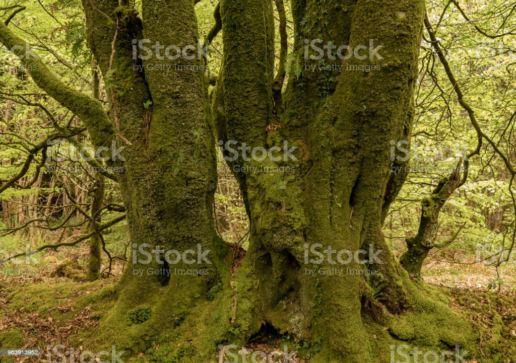 Heavy moss covered tree trunks in forest - Royalty-free Beauty Stock Photo