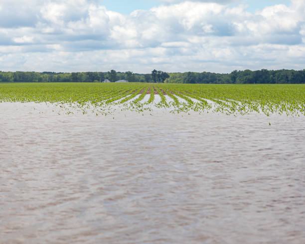 Heavy rains and storms in the Midwest have caused field flooding and corn crop damage stock photo