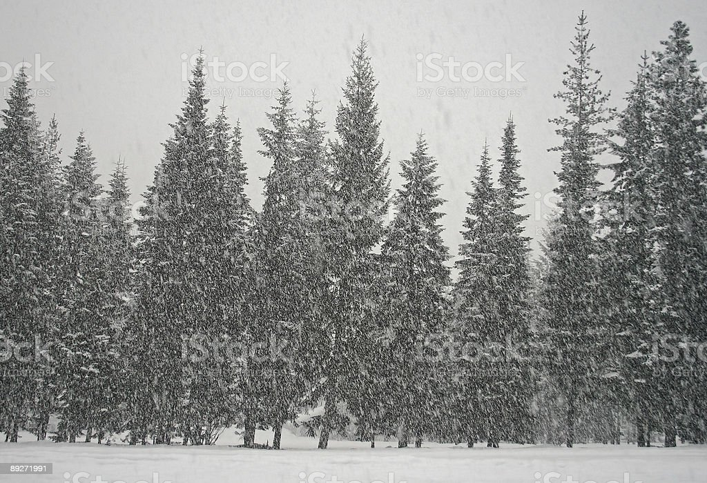 Heavy Snow Falling on Trees royalty-free stock photo