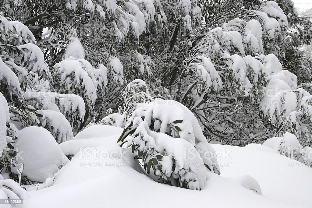 Heavy snow on branches royalty-free stock photo
