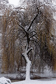 Sawn trunk of an old willow tree in a frozen ditch. The tree stands in the foreground of a whole forest with willow trees with branches.