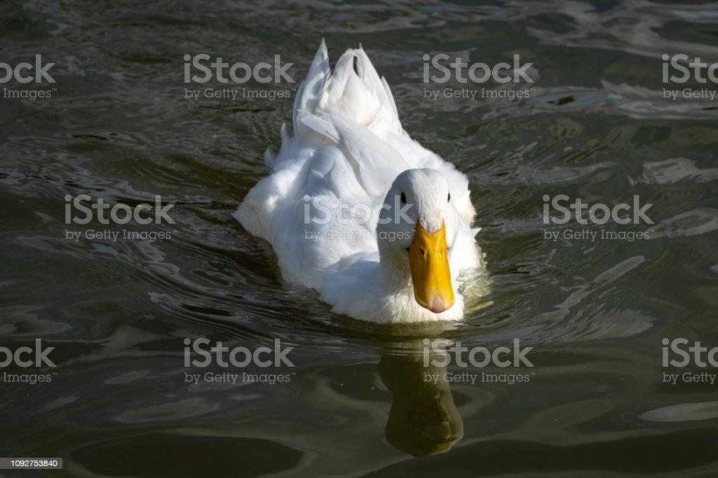 Heavy white Pekin Duck swimming towards the camera stock photo