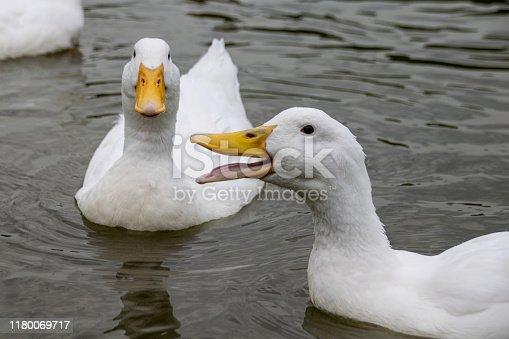 Heavy white pekin ducks swimming on a lake on cold autumn day