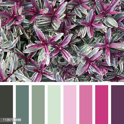 A background of the variegated shrub hebes, in shades of green, pink and purple, In a colour palette with complimentary colour swatches.