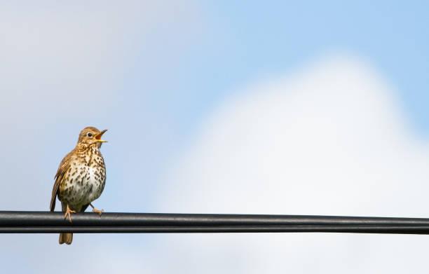 hebridean song thrush perched and singing in scotland - song thrush imagens e fotografias de stock
