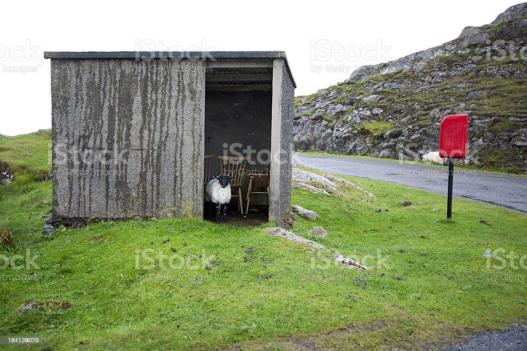 Hebrides, Scotland: Lamb sheltering from rain stock photo