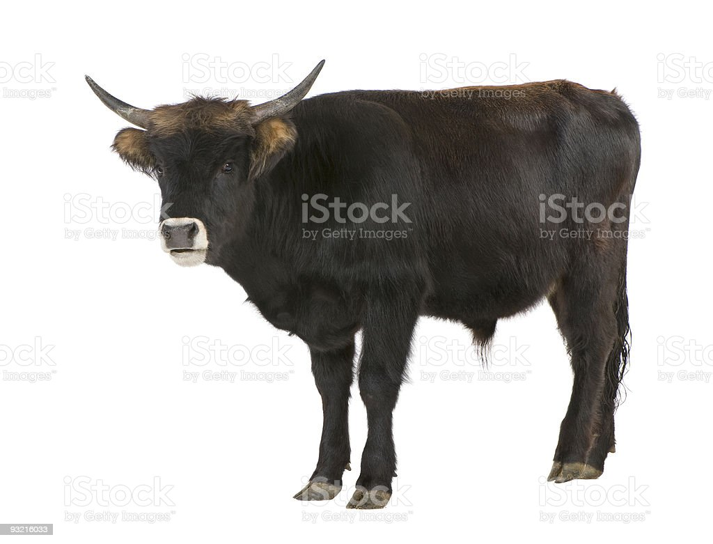 Heck cattle - auroch royalty-free stock photo