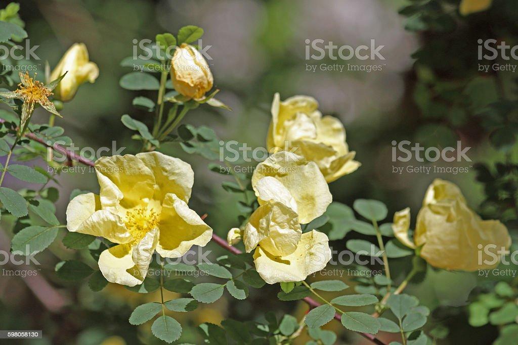 Hecken-Rose stock photo