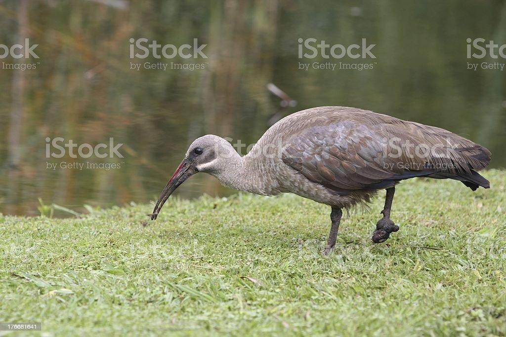 Hededa ibis (Bostrychia hagedash) con Pies de heridas foto de stock libre de derechos