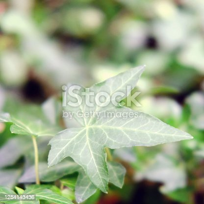 Hedera, commonly called ivy (plural ivies) is a genus of 12–15 species of evergreen climbing or ground-creeping woody plants in the family Araliaceae