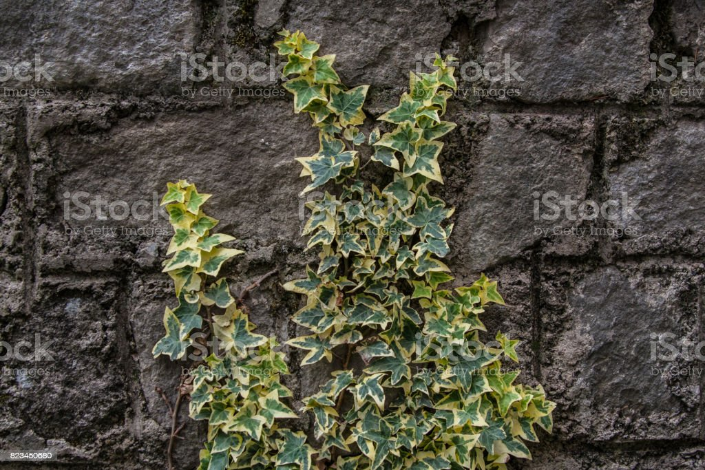 Hedera helix plant stock photo
