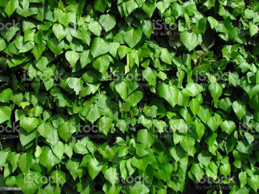 Hedera Hibernica of Ierse klimop groene klimplant, groene bladeren van kruip machine, medicinale plant, natuurlijke botanische textuur foto foto