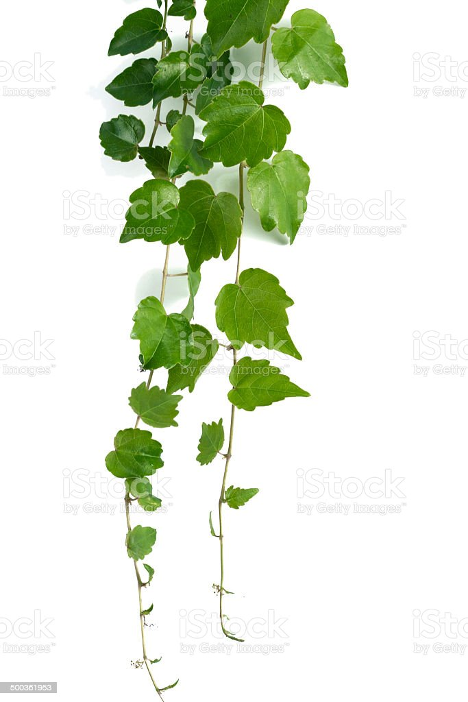Hedera ivy stock photo