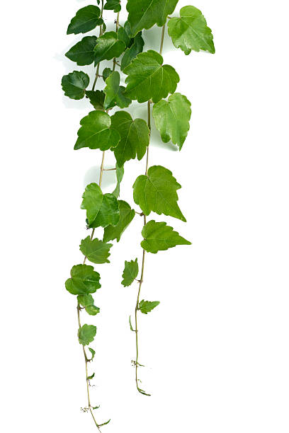 Hedera ivy – Foto