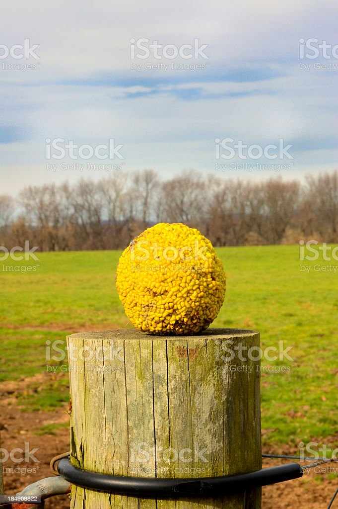 Hedge Apple On Post stock photo