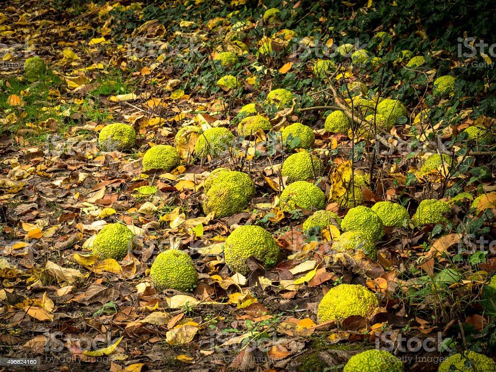 Hedge Apples Fallen Among Yellow Leaves stock photo
