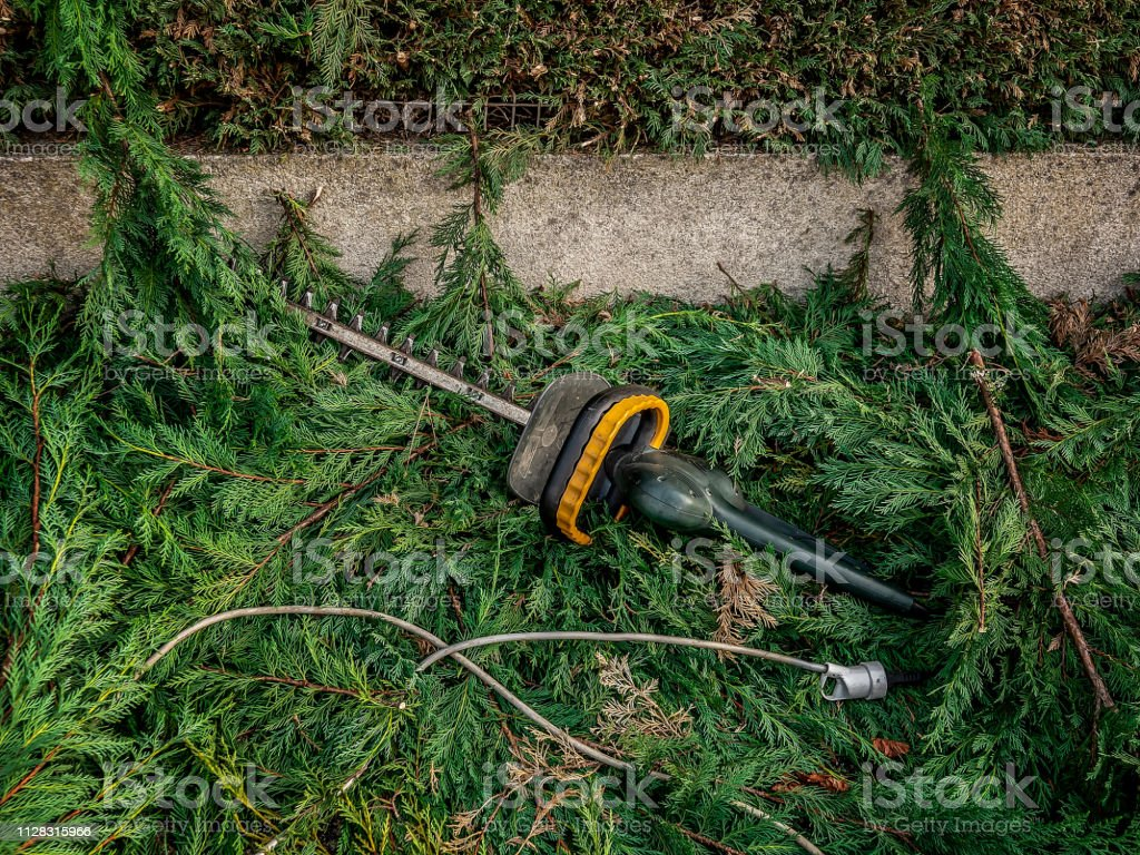 hedge clipper on the ground in the branches of cypress after garden...