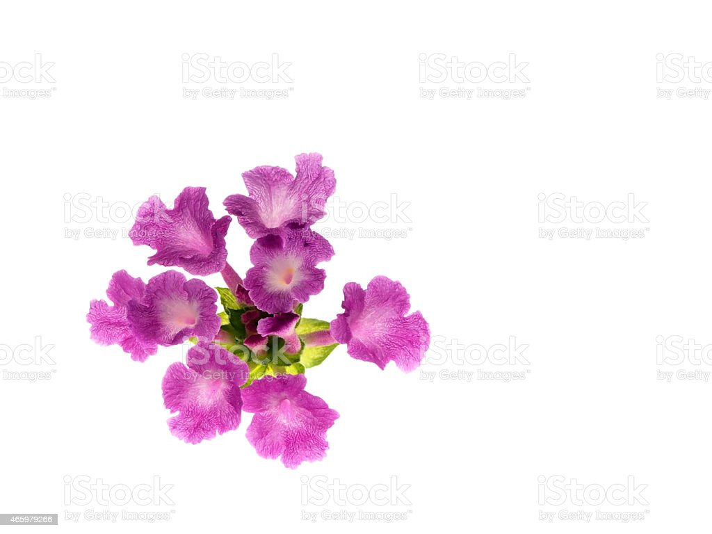 Hedge flower on white (horizontal left position) stock photo