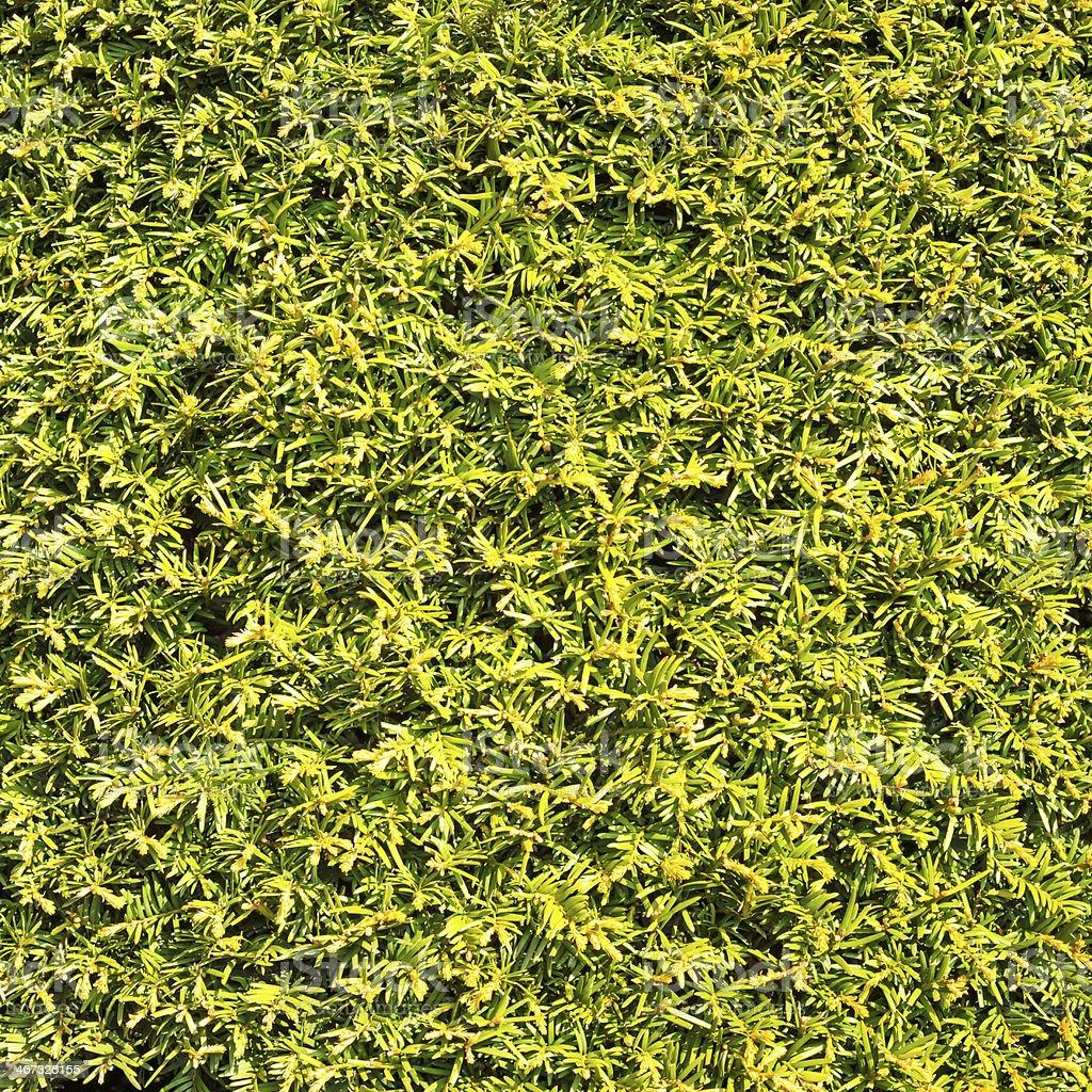 Siepe Verde Lascia Sfondo Di Texture Di Muro Erba Simili