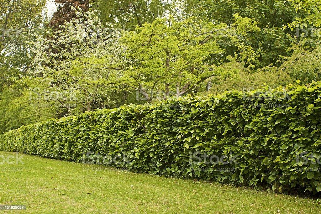 Hedge in formal garden. stock photo