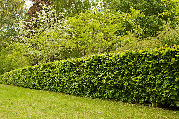 Hedge in formal garden. Hedge, hedgerow in garden. beech tree stock pictures, royalty-free photos & images