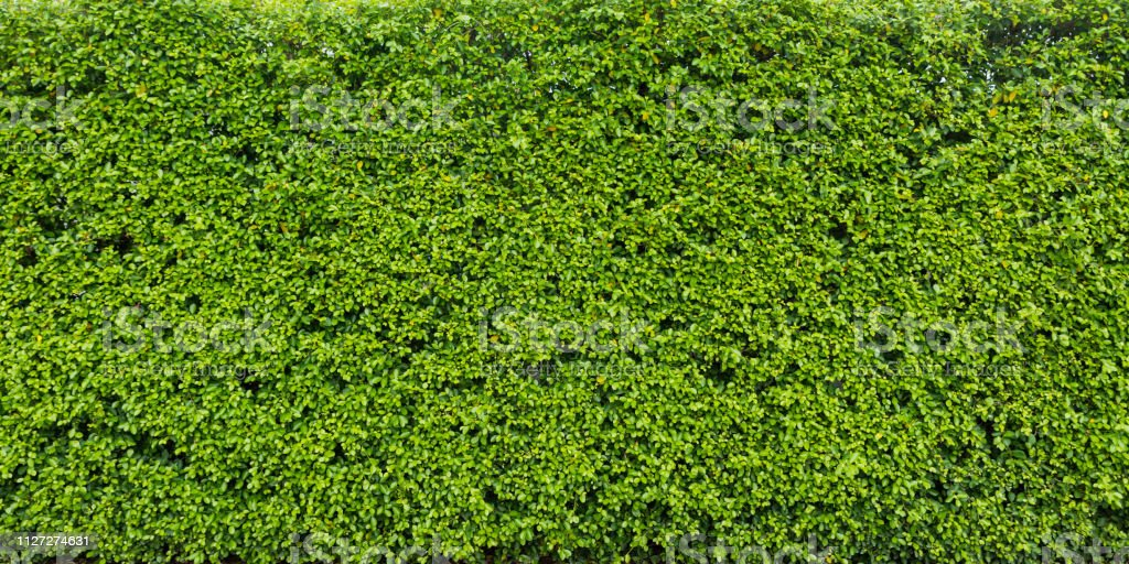 Hedge leaf for nature green background