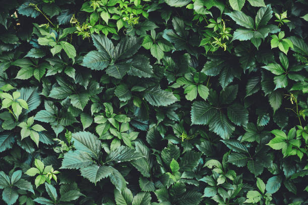 hedge of big green leaves in spring. green fence of parthenocissus henryana. natural background of girlish grapes. floral texture of parthenocissus inserta. rich greenery. plants in botanical garden. - lush foliage stock pictures, royalty-free photos & images