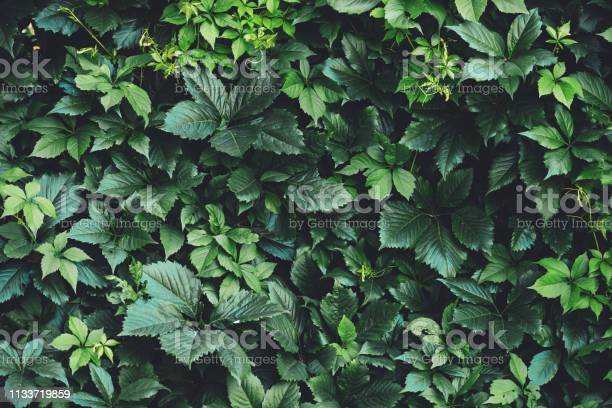 Photo of Hedge of big green leaves in spring. Green fence of parthenocissus henryana. Natural background of girlish grapes. Floral texture of parthenocissus inserta. Rich greenery. Plants in botanical garden.