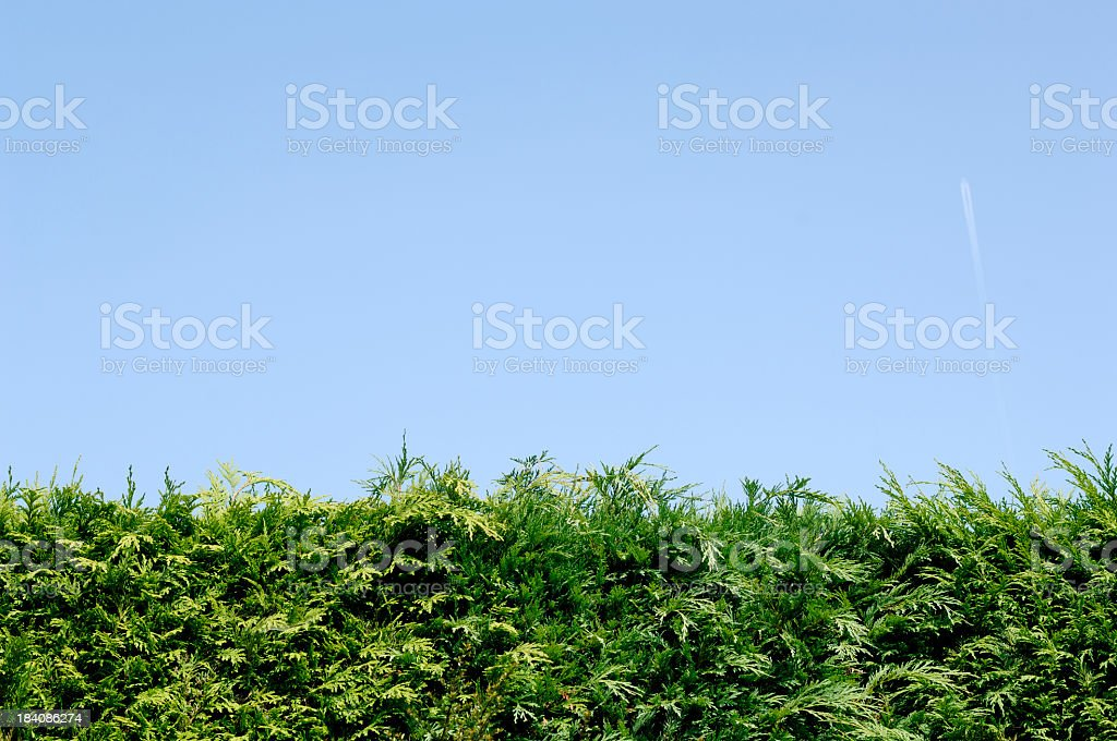 Hedge of conifer trees against blue sky royalty-free stock photo