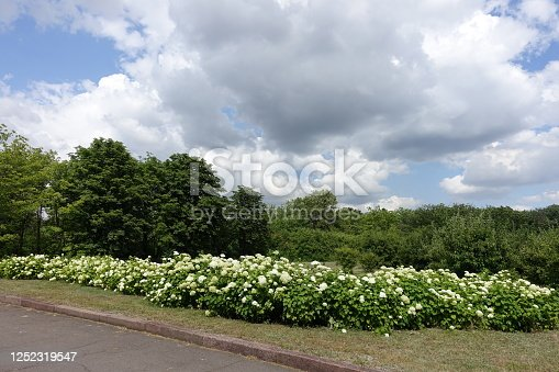 Hedge of flowering white hydrangeas in June