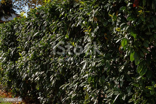 Hedge of Prunus laurocerasus shrubs, also known as cherry laurel, common laurel, and sometimes English laurel in landscaped public park in downtown Sochi. Black Sea coast of Caucasus. Late fall.