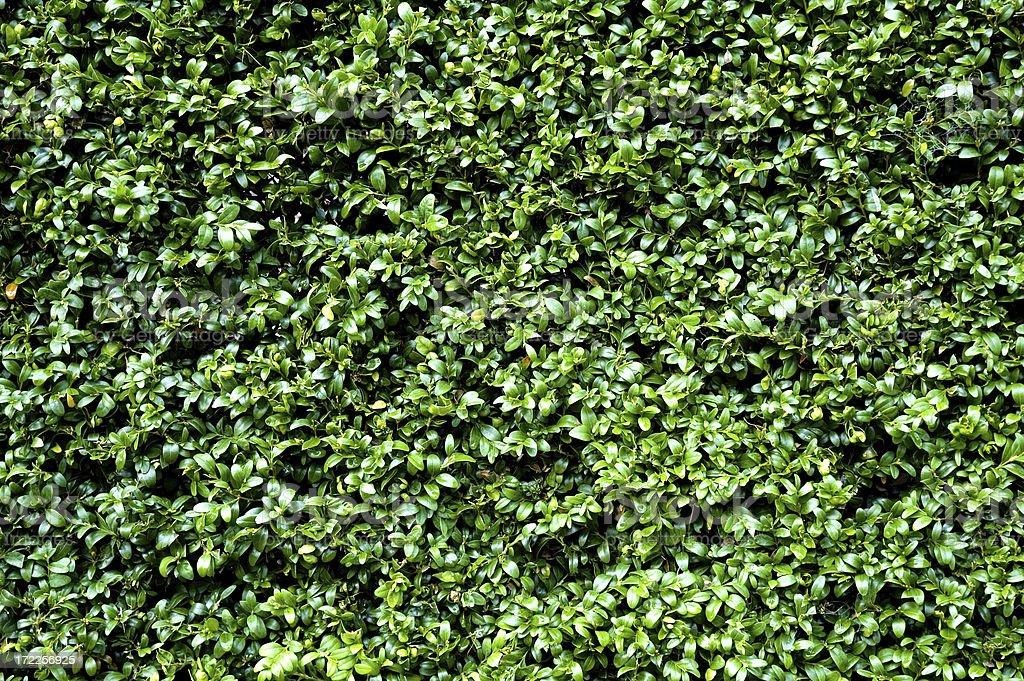 Hedge royalty-free stock photo